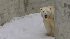 A polar bear stands and looks  to the camera in a zoo Stock Footage