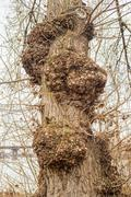Burls on a Poplar Tree Stock Photos