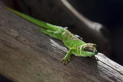 Phelsuma Phelsuma day gecko Mauritius Africa - stock photo