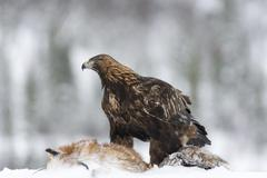 Golden Eagle Aquila chrysaetos with fox as prey in snow Flatanger Norway - stock photo