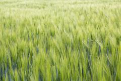Barley Hordeum vulgare Saxony Germany Europe - stock photo