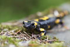 Salamander in the Wild - stock photo