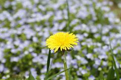 Yellow dandelion, spring, nature background Stock Photos