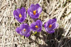 Spring ,  flowers, colorful crocuses blooming - stock photo