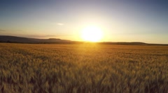 Aerial Flight over the wheat field in sunset Stock Footage