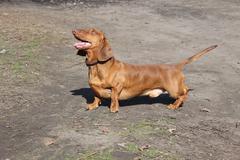 Dog breed dachshund - stock photo