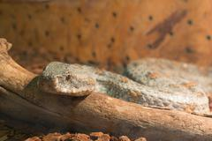 Snake in the terrarium - Levantine viper - stock photo