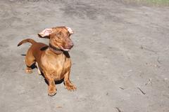 Dog breed dachshund Stock Photos