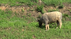 Buffalo grazing grass on the hill. Stock Footage
