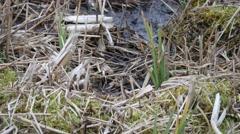4K Common Snipe ( Gallinago gallinago ) Hiding in Grass on a Scrape - stock footage