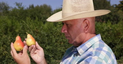Orchard Farmer Man Look Careful Closeup Comparing Pear Fruits Quality Difference - stock footage