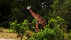 Giraffe is eating Stock Footage