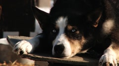 Siberian husky dog rests on top of booths at the dog farm in Hemsedal, Norway. Stock Footage