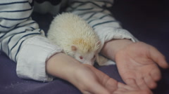 Child and albino hedgehog Stock Footage
