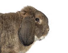 German Rabbit Ram isolated on white Stock Photos