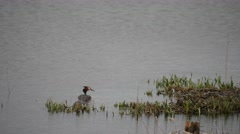 Two Great Crested Grebes Swimming on a Lake Stock Footage
