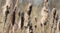 Dried Cattail Stock Footage