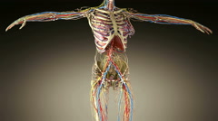 Stock Video Footage of science footage of full body anatomy