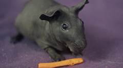 Skinny guinea pig eating a carrot - stock footage