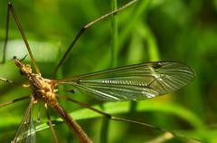 Stock Photo of Crane fly wing, head and eyes - Tipula sp.