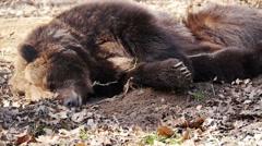 Black bear sleeping Stock Footage