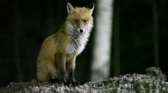 Dirty wild fox sitting on snowbound at night Stock Footage