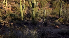 Saguaro National Park Landscape Stock Footage