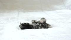 Newborn American Shorthair kittens sleeping on white bed - stock footage