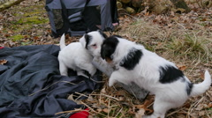 Two jack russell puppies are playing with a tube - stock footage
