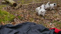 The jack russell puppies are 6 weeks old and love to play Stock Footage