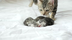 Cute American Shorthair cat with her kittens on white bed Stock Footage