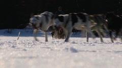 People ride dog sleds in Hemsedal, Norway. Stock Footage