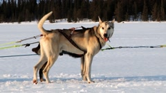 Dogs eager to pull dog sleds at the winter trail in Hemsedal, Norway. Stock Footage