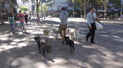 Professional dog walker walks dogs, downtown Montevideo, Uruguay Stock Footage