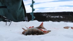 Fresh caught fish moves on ice at winter ice fishing in Trysil, Norway. Stock Footage