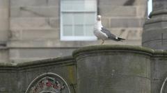 Seagull relaxing in Edinburgh, UK Stock Footage