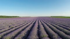 Aerial Flight over  lavender fields in sunset - stock footage