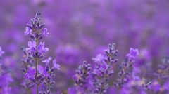 Lavender in a field, video - stock footage