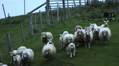 Dog Herding Sheep in New Zealand Stock Footage