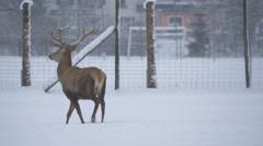 Male and female deer walking in snow, Hallstatt Stock Footage