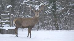 Stag walking away on a snowy day, Hallstatt Stock Footage