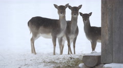 Three baby deer standing on snow, Hallstatt Stock Footage