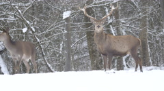 Deer couple walking on snow in Hallstatt Stock Footage