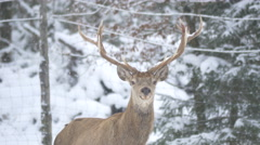 Stag standing and a female deer walking on a winter day in Hallstatt - stock footage