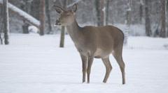 View of a female deer ruminating ona winter day, Hallstatt - stock footage