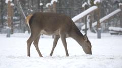 Female deer eating on a winter day on Hallstatt - stock footage
