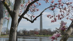 View on Sakura and magnolia blooming near Washington Monument in Washington DC - stock footage