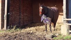 Old muddy horse snorts and turns back to camera - stock footage