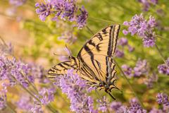 Canadian Tiger Swallowtail Butterfly Stock Photos