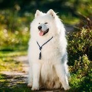 Very Funny Friendly Happy Lovely Pet White Samoyed Dog Outdoor i - stock photo